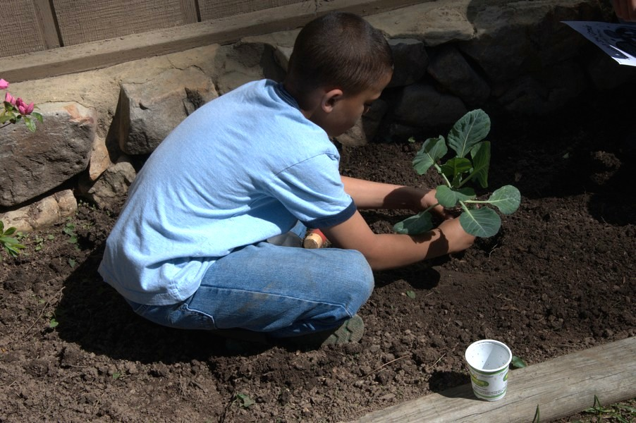 Planting Cabbage in the Soil