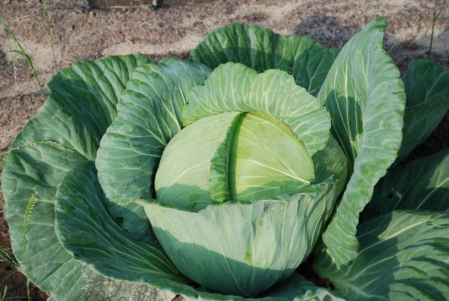 Growing a healthy cabbage